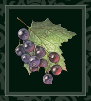 Black Currant wine
